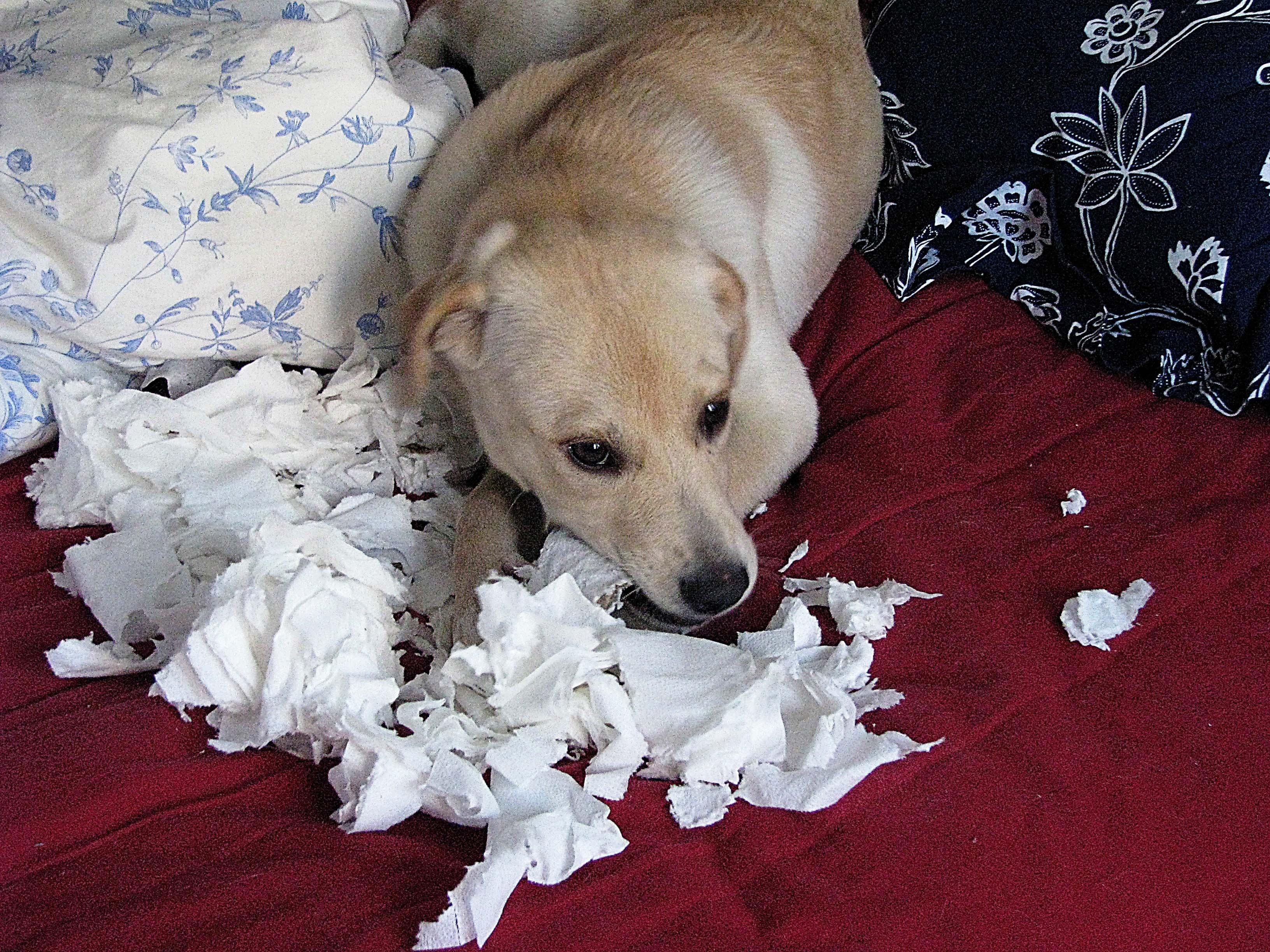 bilan comportemental chien destructeur
