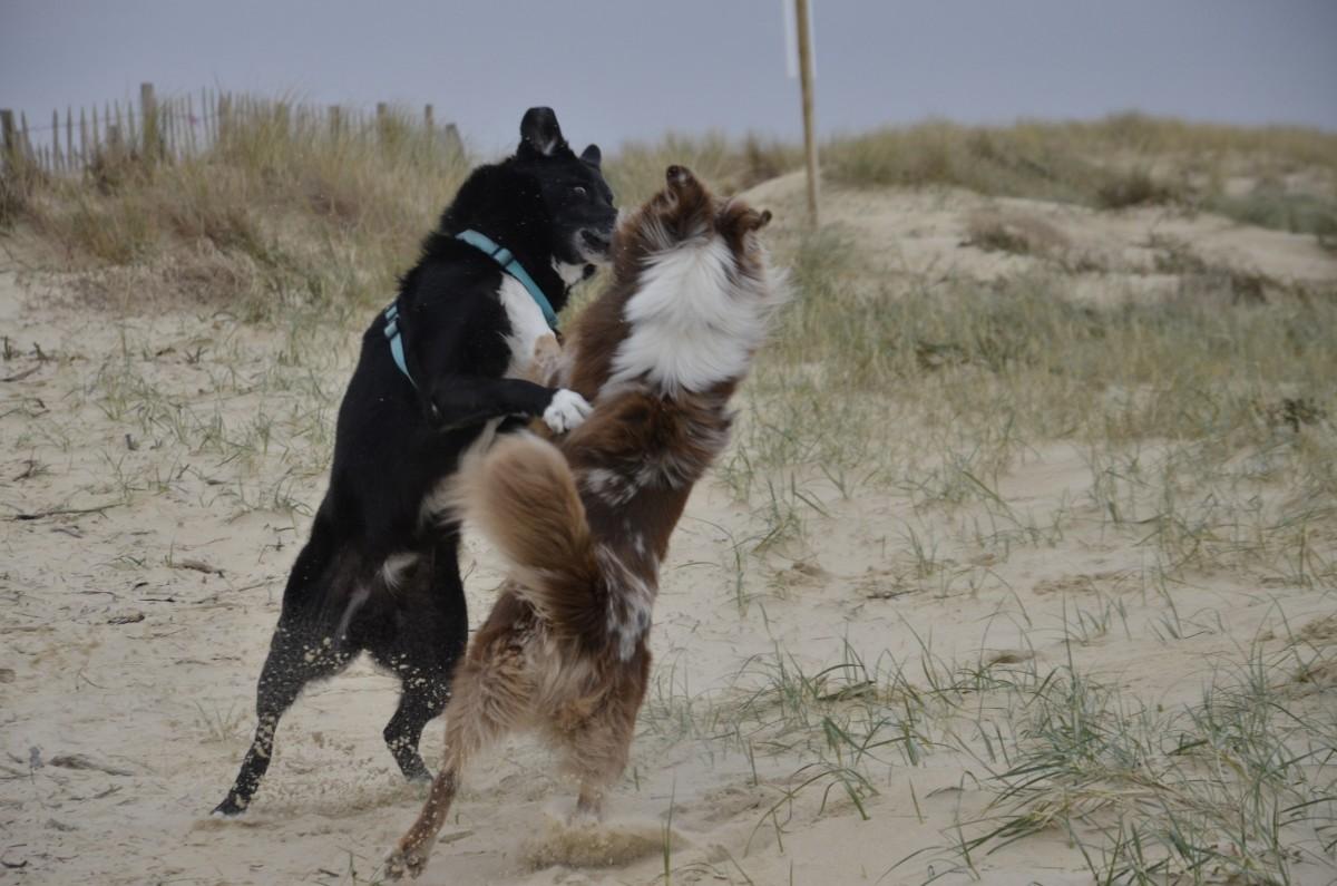2 chiens qui se battent