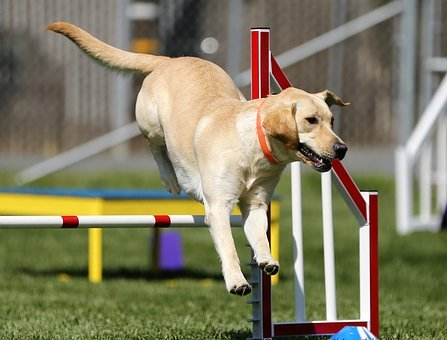 chiot agility