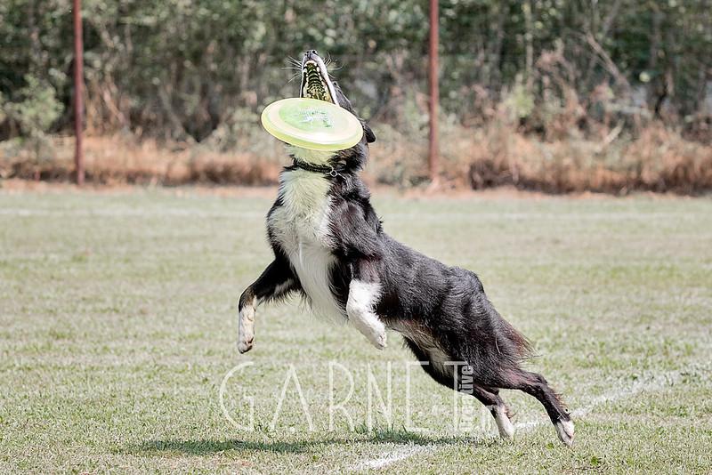 chien fresbee