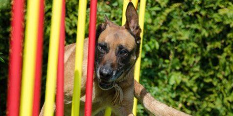 Sport Canin Agility Et école Du Chiot Pour Les Chiens De