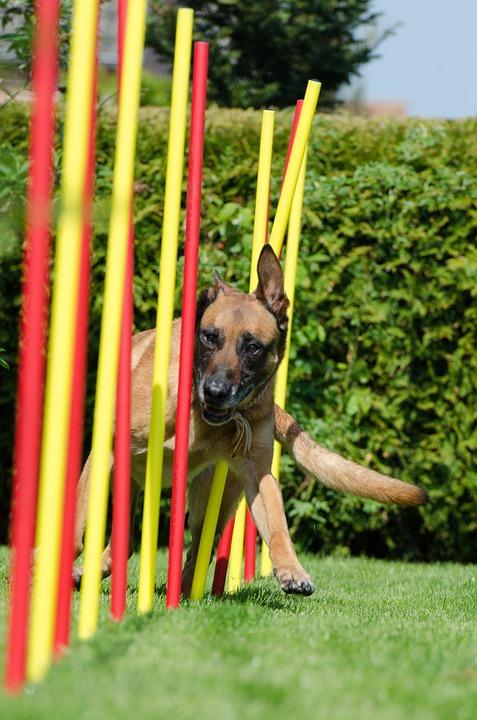 slalom-agility chien