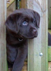 chiot labrador chocolat