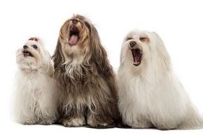 chiens aboiements