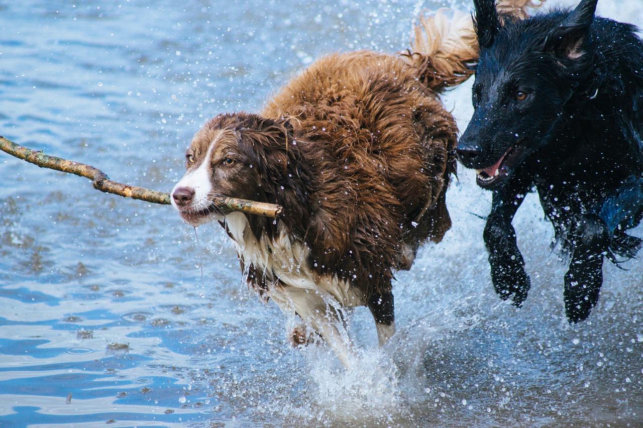 chiens baton eau